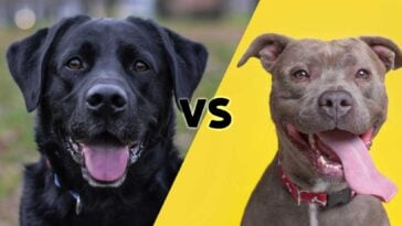 Photos of a black lab and a pitbull meeting on the diagonal in the middle with the letters VS in the center