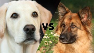 Pictures of a Yellow Lab and a German Shepherd meeting in the middle on the diagonal with the letters VS in the center