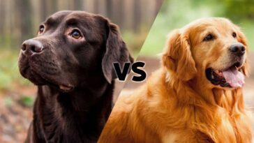 Photos of a black lab and a golden retriever meeting on the diagonal in the middle with the letters VS in the center.